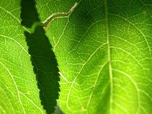 1 πράσινο φύλλο κινηματογραφήσεων σε πρώτο πλάνο στοκ εικόνα με δικαίωμα ελεύθερης χρήσης
