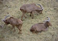 1 πρόβατο Βαρβαρίας Στοκ Φωτογραφίες