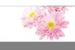 1 ροζ λουλουδιών Στοκ φωτογραφία με δικαίωμα ελεύθερης χρήσης