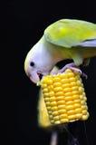 1 σειρά παπαγάλων Στοκ Εικόνα