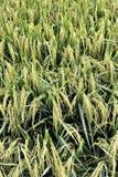 1 σειρά ρυζιού πεδίων Στοκ Φωτογραφία