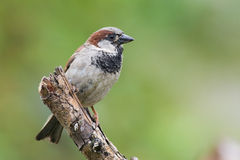 1 σπουργίτι πουλιών Στοκ φωτογραφίες με δικαίωμα ελεύθερης χρήσης