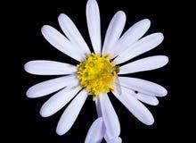 1 σφήκα λουλουδιών Στοκ Εικόνα