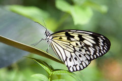 1 φτερό πτυχών πεταλούδων Στοκ Φωτογραφία