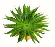 1 φυτό σπιτιών λουλουδιών Στοκ φωτογραφία με δικαίωμα ελεύθερης χρήσης