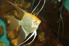 1 ψάρι αγγέλου fishbowl Στοκ Εικόνες
