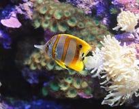 1 ψάρι πεταλούδων copperband Στοκ Φωτογραφίες