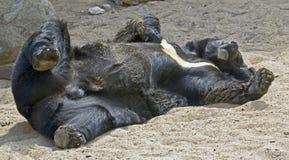 1 азиатская чернота медведя Стоковое Фото