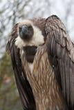 1 африканская подпертая белизна хищника Стоковое фото RF