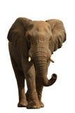 1 белизна изолированная слоном Стоковое Фото