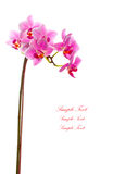 1 белизна орхидеи предпосылки пурпуровая Стоковое Изображение RF