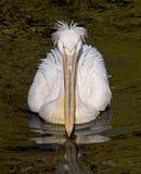 1 белизна пеликана Стоковое Изображение