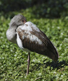 1 белизна ibis американского eudocimus albus ювенильная Стоковые Изображения RF