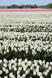 1 белизна tuilp поля нидерландская Стоковые Фото