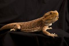 1 бородатая ящерица дракона Стоковая Фотография RF