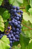 1 виноградина Стоковая Фотография RF