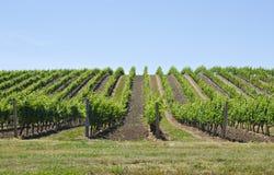 1 виноградник ландшафта стоковые изображения