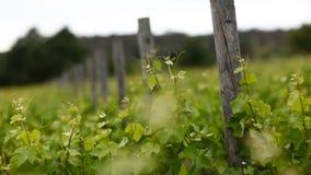 1 виноградник сельской местности Стоковые Изображения