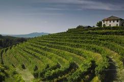 1 виноградник Стоковое Фото
