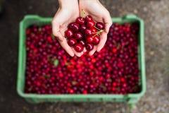 1 вишня свежая Стоковое Фото