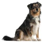 1 год австралийского чабана собаки старого сидя Стоковые Фотографии RF