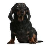 1 год белизны усаживания dachshund передний старый Стоковая Фотография