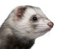 1 год близкого ferret старый поднимающий вверх Стоковое Изображение