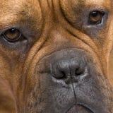 1 год Бордо de dogue Стоковая Фотография RF