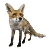 1 год взгляда лисицы передний старый красный стоящий Стоковое Фото