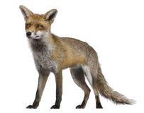 1 год лисицы старый красный стоящий Стоковое Фото