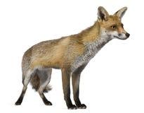 1 год лисицы старый красный стоящий Стоковое фото RF
