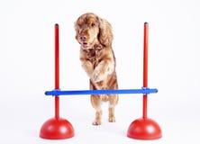 1 год spaniel собаки кокерспаниеля мыжской старый Стоковые Фото