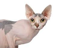 1 год sphynx портрета кота старый Стоковые Изображения