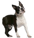 1 год terrier boston старый стоящий Стоковое фото RF