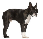 1 год terrier boston старый стоящий Стоковое Изображение RF