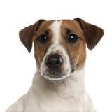 1 год terrier russell портрета jack старый Стоковые Изображения