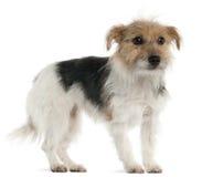 1 год terrier russell jack старый стоящий Стоковое Изображение RF