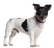 1 год terrier russell jack старый Стоковая Фотография RF