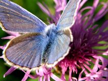1 голубая бабочка стоковые изображения rf