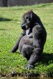 1 горилла Стоковое Изображение