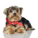 1 год yorkshire terrier Стоковая Фотография RF