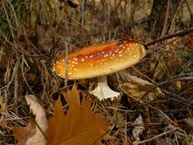 1 гриб amanita одичалый Стоковое Изображение RF