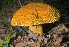 1 гриб leccinium extremiorientale Стоковые Фотографии RF