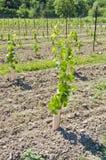 1 детеныш виноградника лоз виноградины Стоковые Изображения