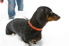 1 детеныш года dachshund времени Стоковое Фото