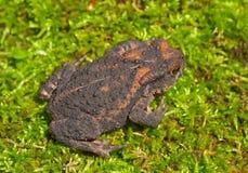 1 детеныш жабы gargarizans bufo Стоковые Изображения RF