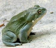 1 жаба реки colorado Стоковые Фото