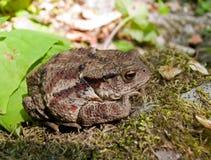 1 жаба gargarizans bufo Стоковое Изображение RF
