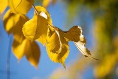 1 желтый цвет вала листьев осени Стоковые Фотографии RF