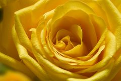 1 желтый цвет розы Стоковое Фото
